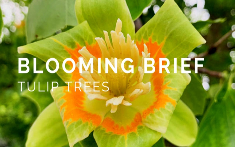 Blooming Brief: Tulip Trees!