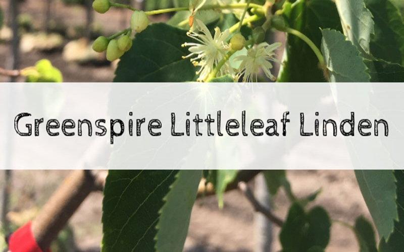 Tree of the Week: Greenspire Littleleaf Linden