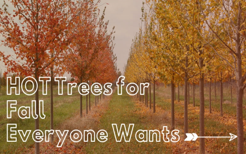 HOT Trees for Fall Everyone Wants! RUN!
