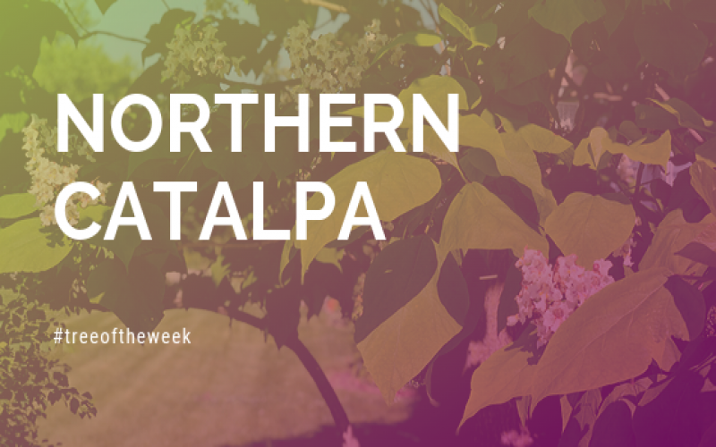 Tree of the Week: Northern Catalpa