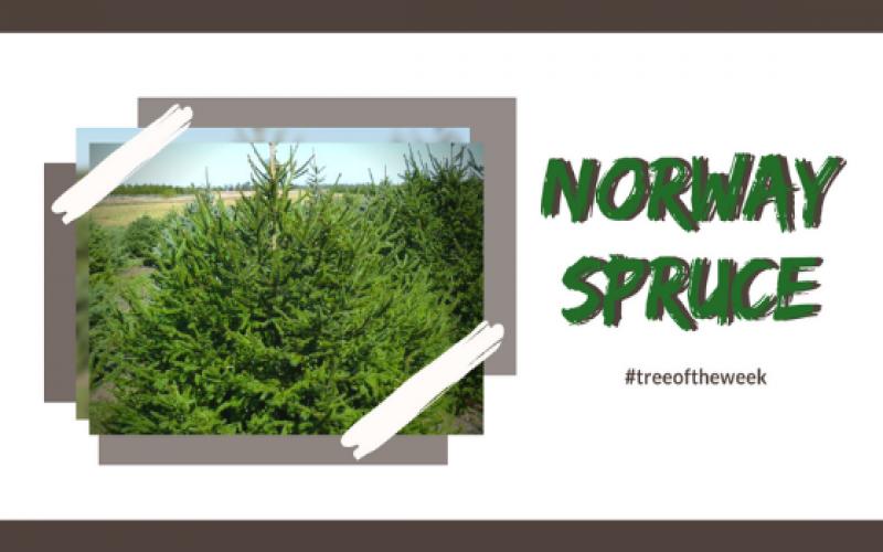 Tree of the Week: Norway Spruce