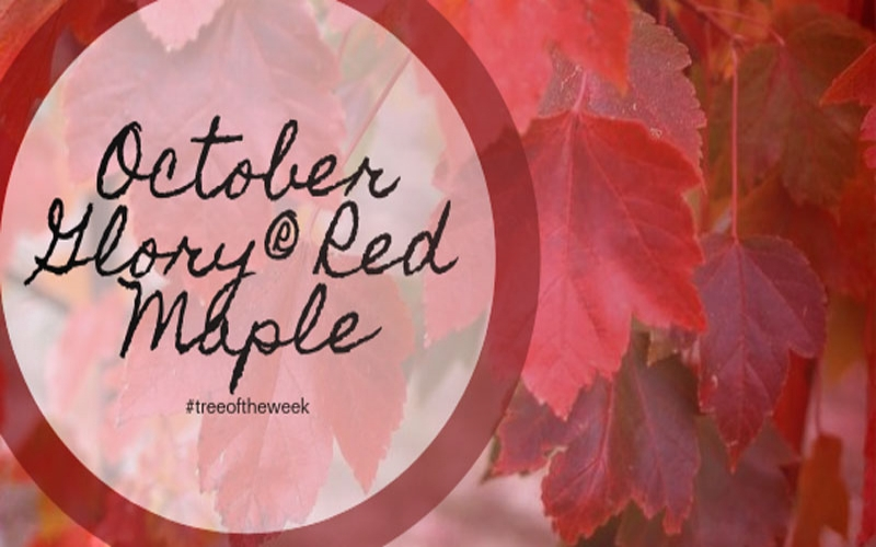 Tree of the Week: October Glory® Red Maple
