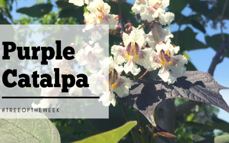 Tree of the Week: Purple Catalpa