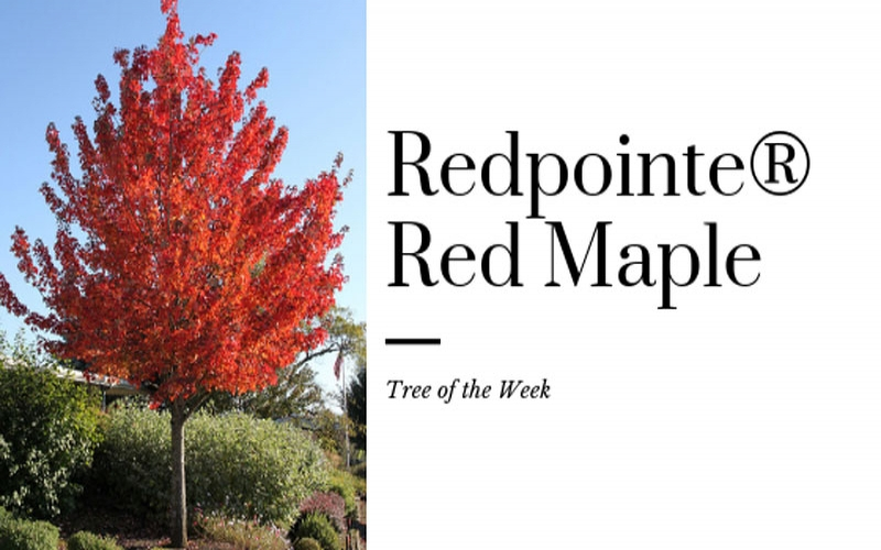 Tree of the Week: Redpointe® Red Maple
