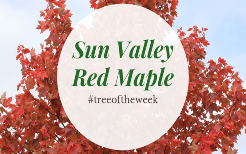 Tree of the Week: Sun Valley Red Maple