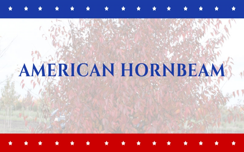 Tree of the Week: American Hornbeam