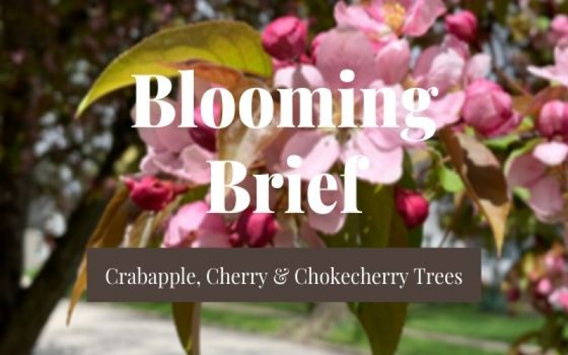 Blooming Brief Week of May 4th: Crabapple, Cherry & Chokecherry Trees