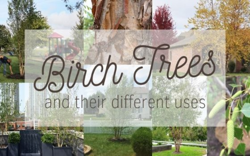 What are the best uses for Birch Trees?