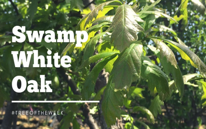 Tree of the Week: Swamp White Oak