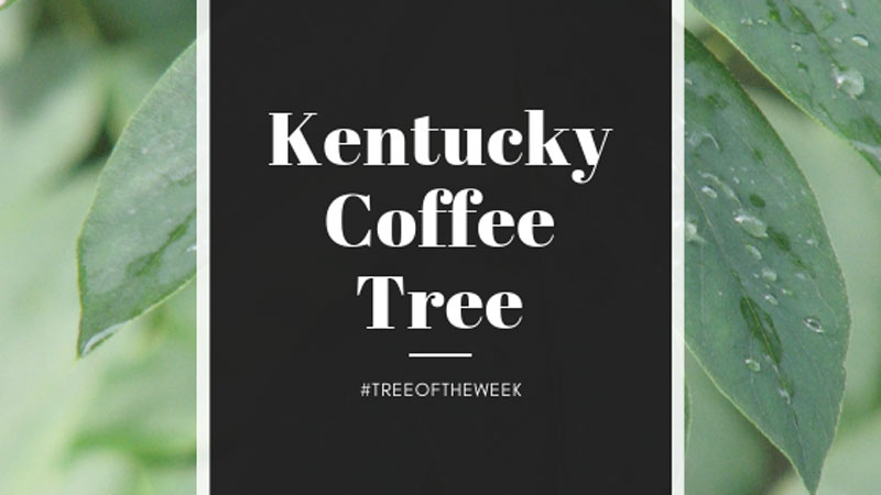 Tree of the Week: Kentucky Coffee Tree