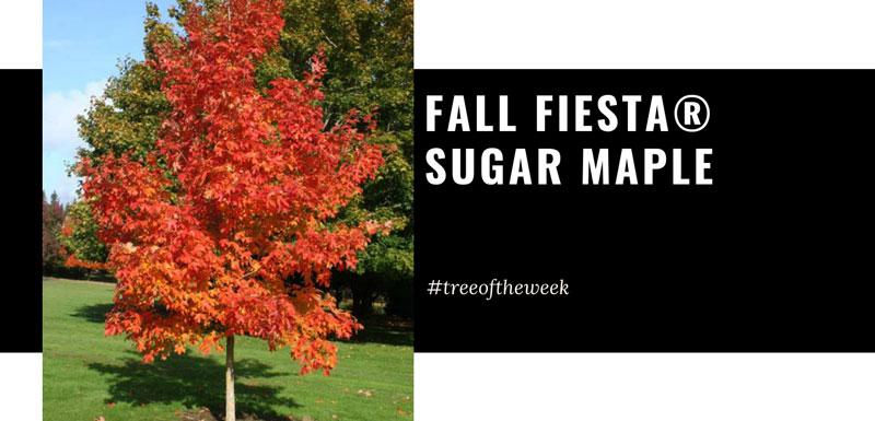 Tree of the Week: Fall Fiesta® Sugar Maple