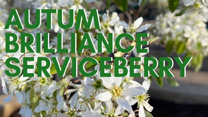 Tree of the Week: Autumn Brilliance Serviceberry