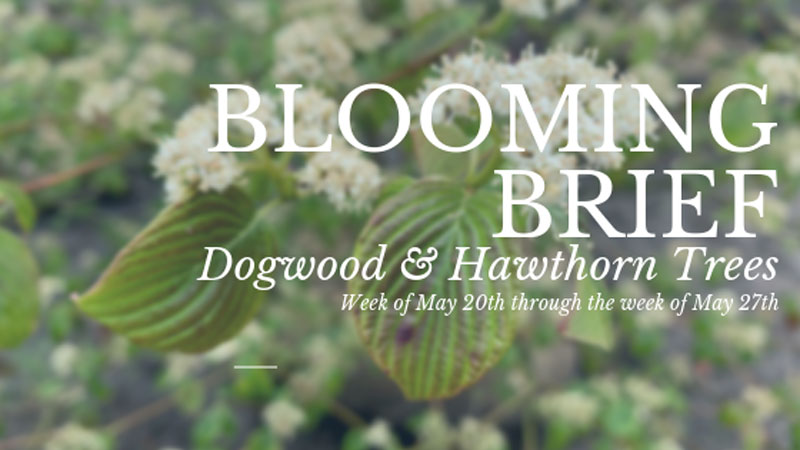Blooming Brief: Dogwood & Hawthorn Trees