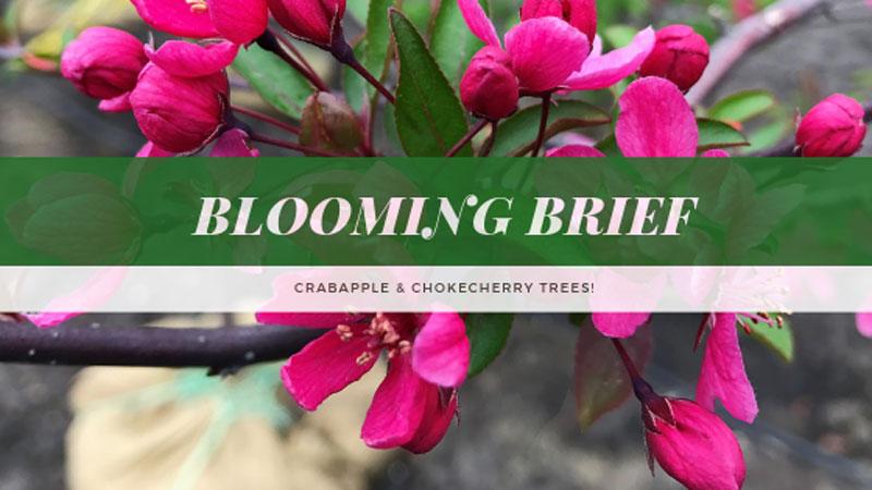 Blooming Brief: Crabapple & Chokecherry Trees