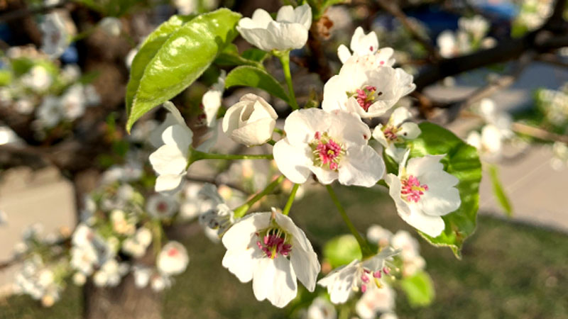 Blooming Brief: Redbud, Serviceberry, Ornamental Pear & More!