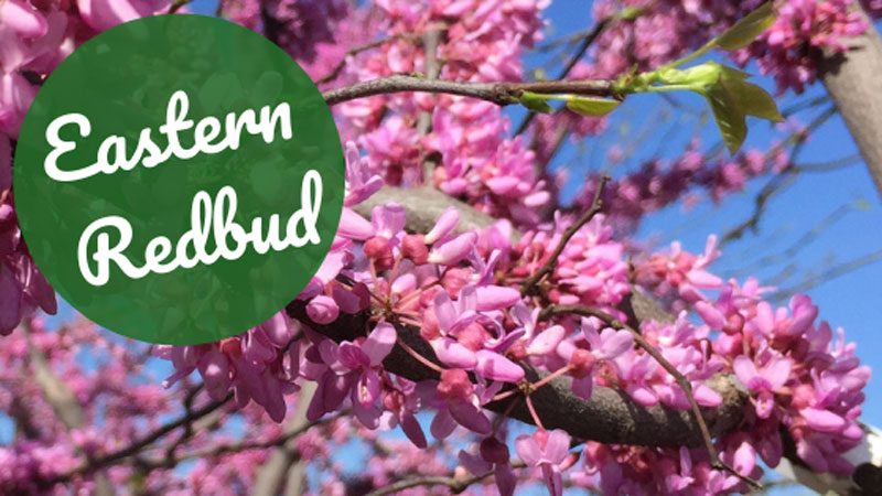 Tree of the Week: Eastern Redbud