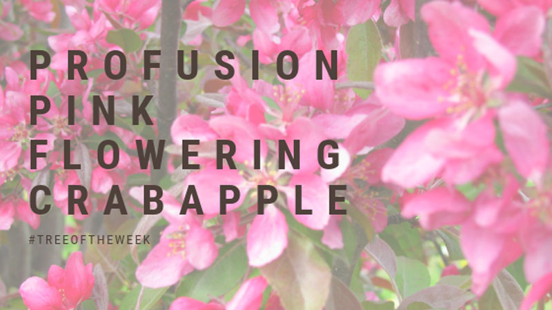 Tree of the Week: Profusion Pink Flowering Crabapple