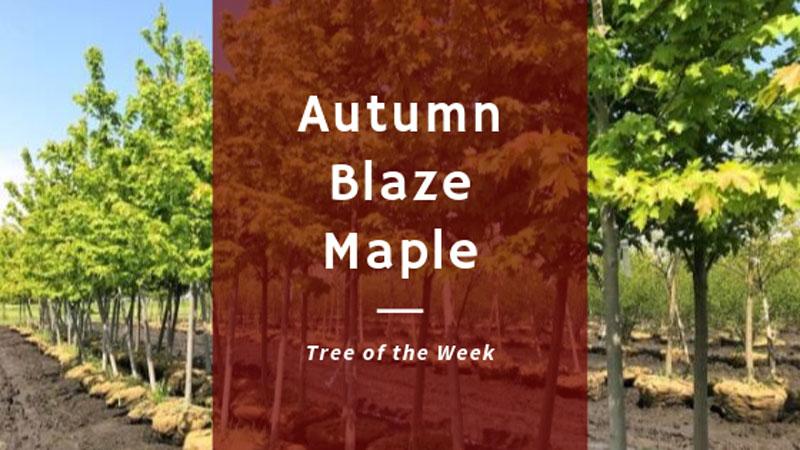 Tree of the Week: Autumn Blaze Maple