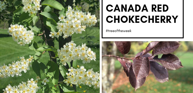 Tree of the week: Canada Red Chokecherry