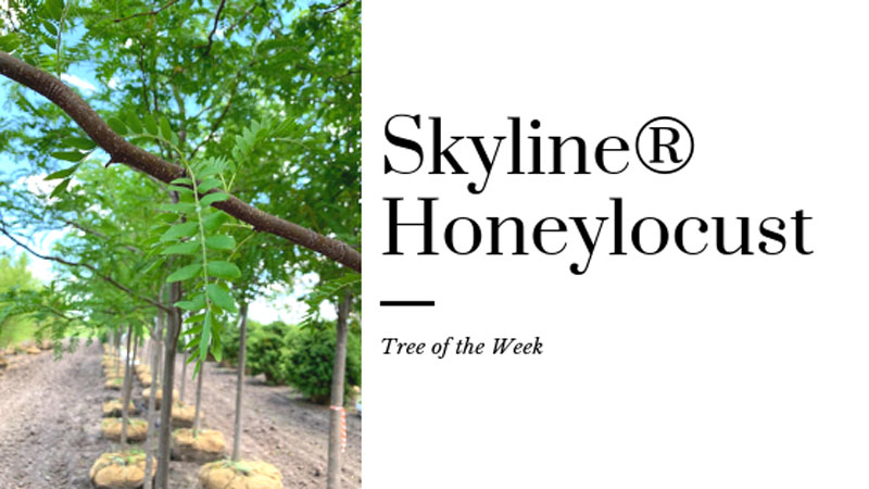 Tree of the Week: Skyline® Honeylocust
