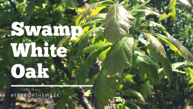 Tree of the Week: Swamp White Oak