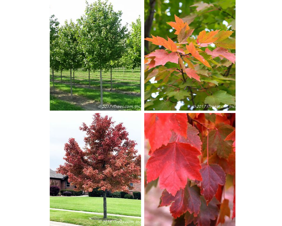 October Glory Red Maple Collage
