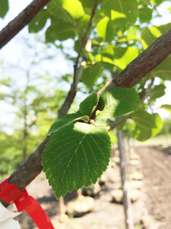 New Horizon Elm Leaf