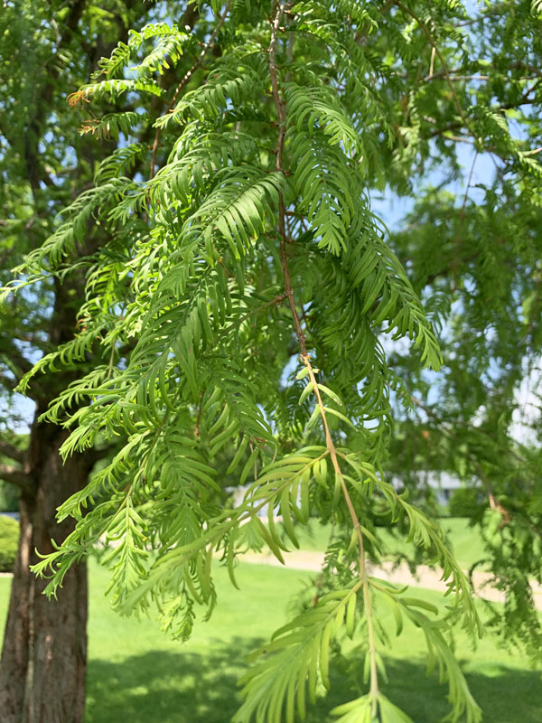 Dawn Redwood Green Foliage