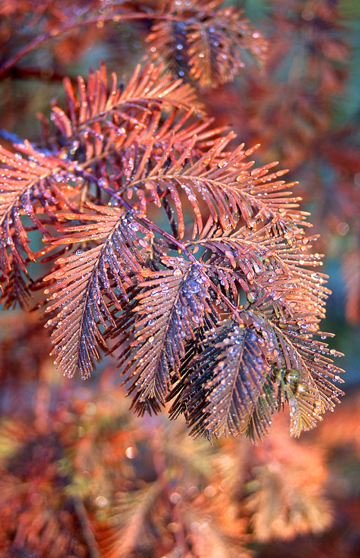 Dawn Redwood Fall Foliage