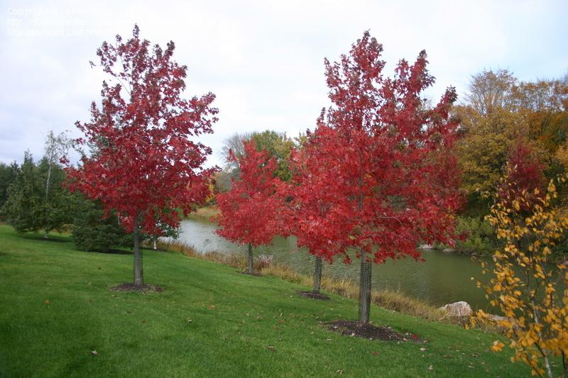 Autumn Fantasy Maple with Red Fall Color