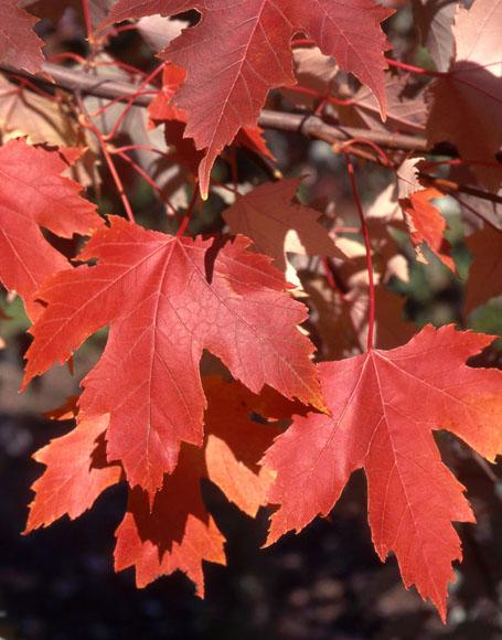 Autumn Fantasy Maple Red Leaf Closeup