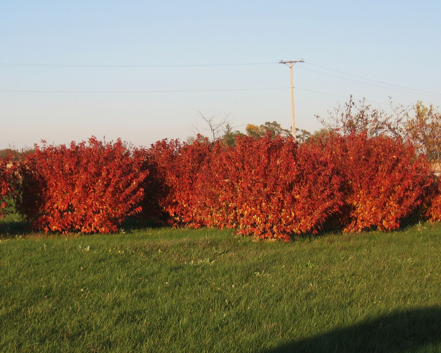 Amur Flame Maple