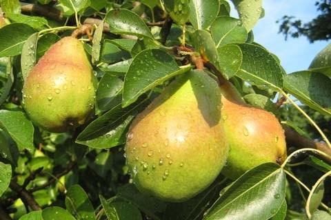 Danjou Pear