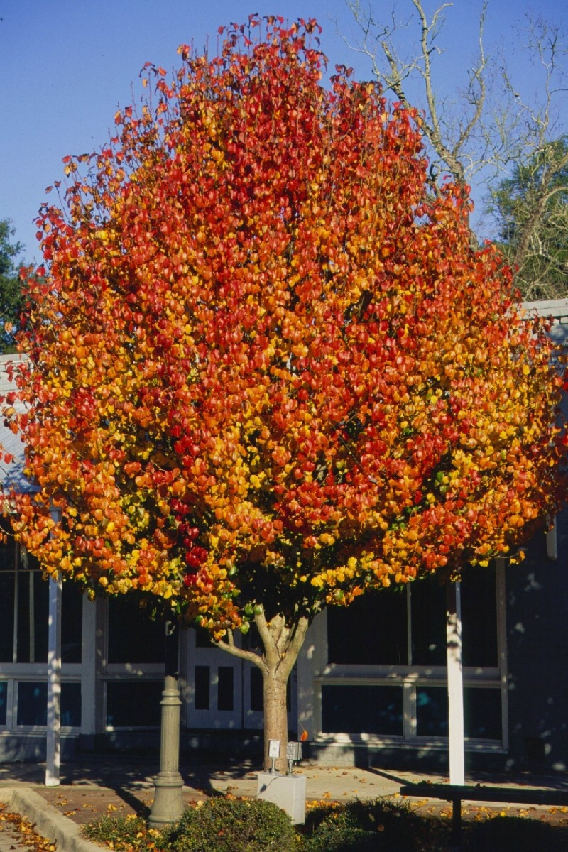 Aristocrat Ornamental Pear