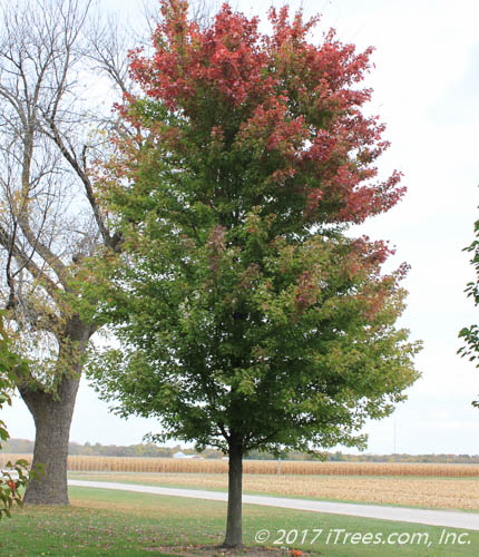 Autumn Blaze Maple Transitioning Fall Color
