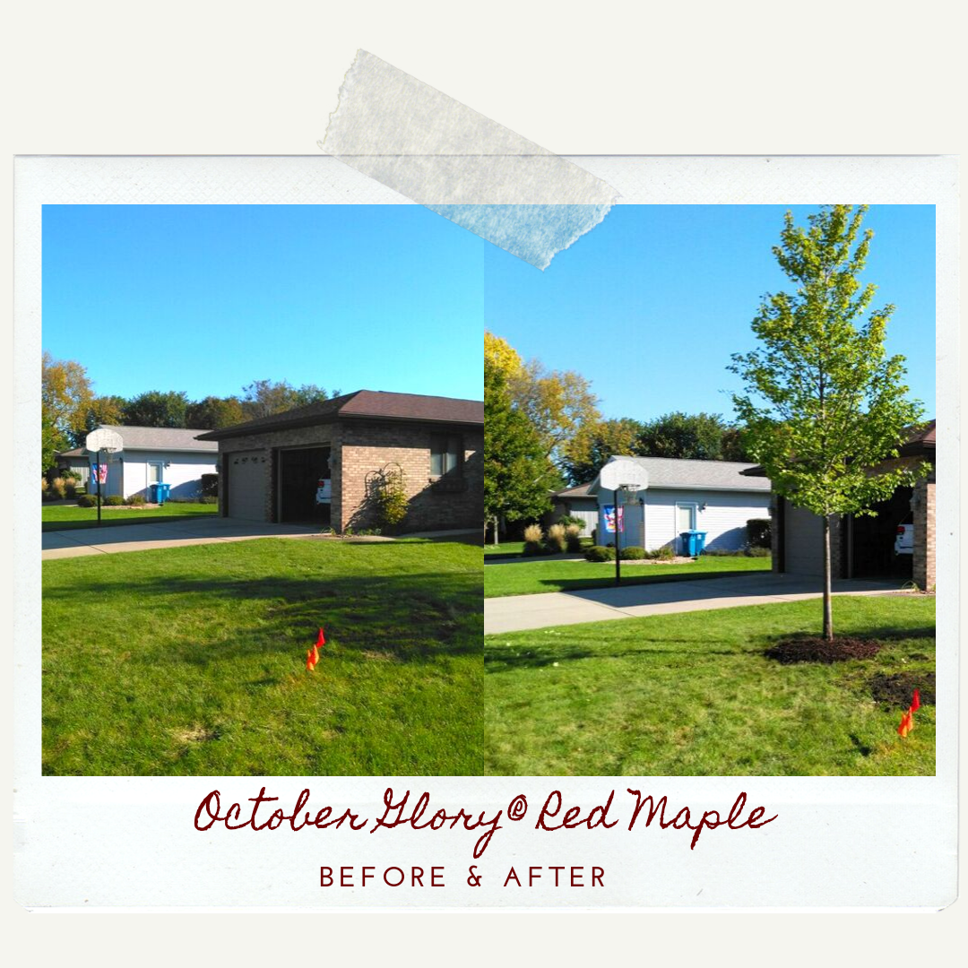 October Glory Red Maple Before & After