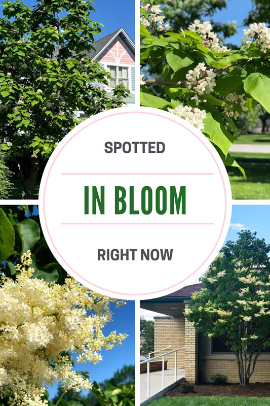 Blooming Brief: Northern Catalpa and Japanese Tree Lilac