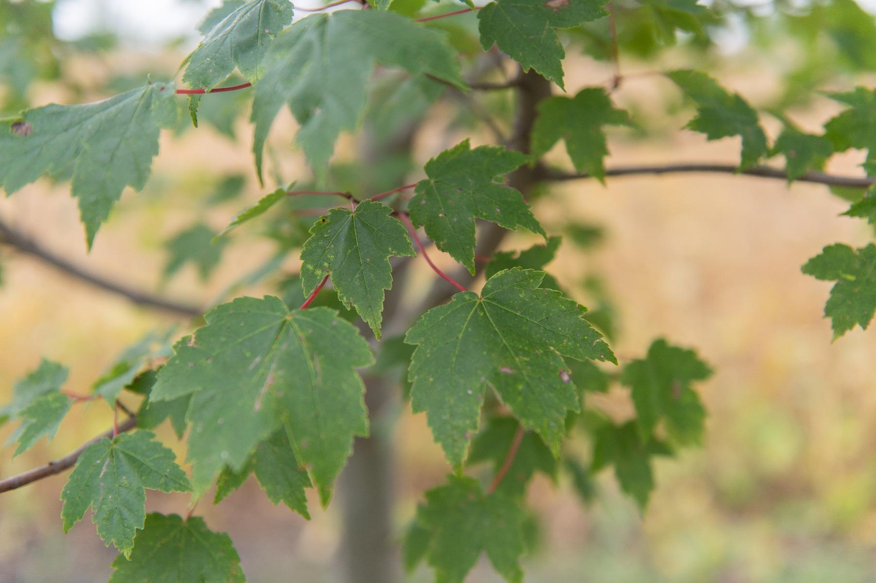 Burgundy Belle Red Maple