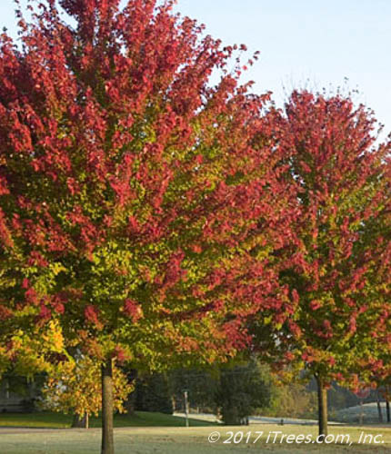 Burgundy Belle Red Maple