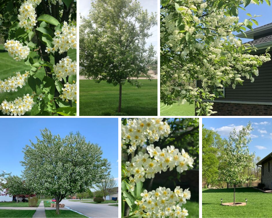 Canada Red Chokecherry in Spring with Flowers and green leaves