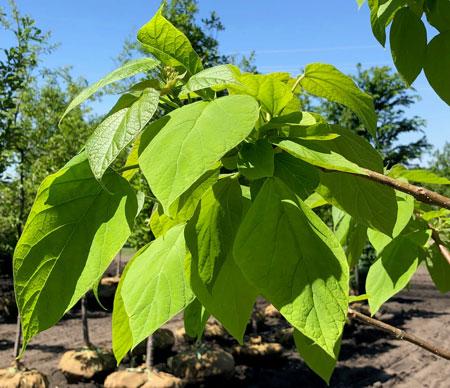 Catalpa Leaves
