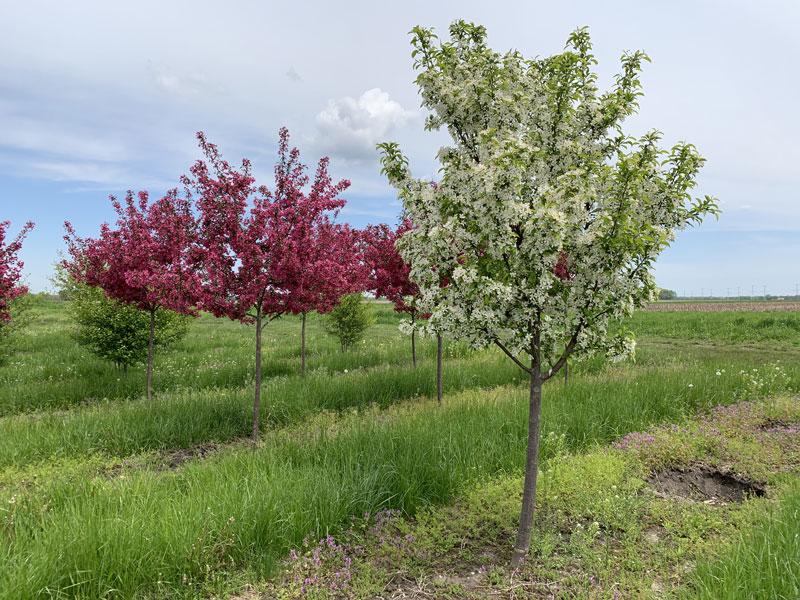 Crabapples in Nursery White and Pink Flowering