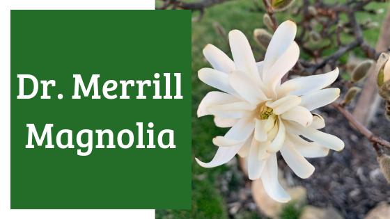 Dr. Merrill
