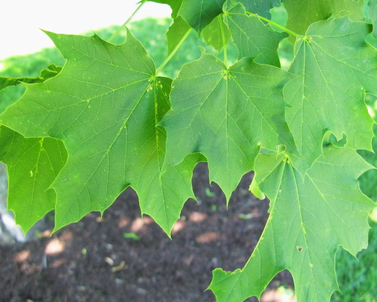 Emerald Lustre Norway Maple Green Leaf Closeup