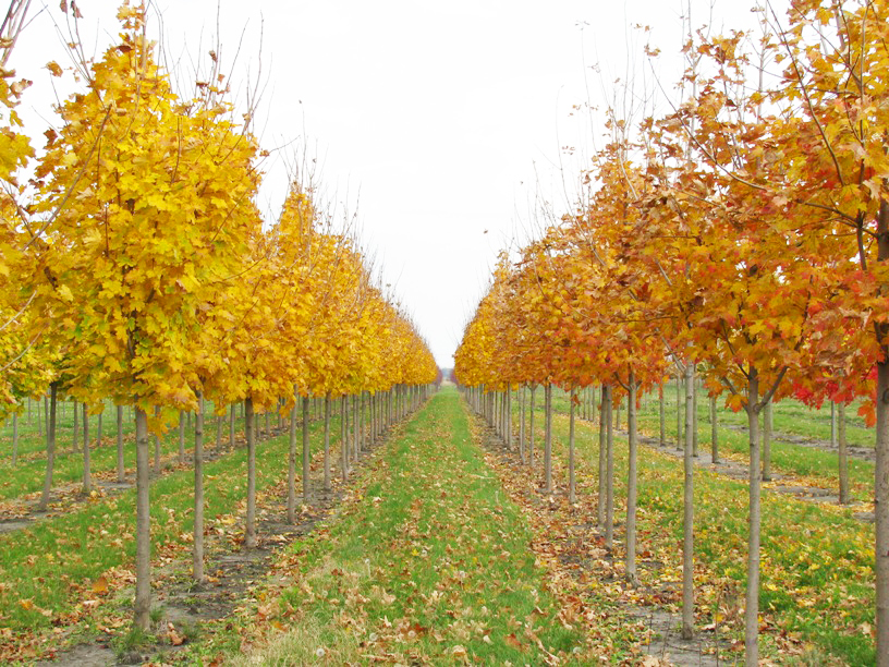 Emerald Lustre Norway Maple with Gold Fall Color in Nursery