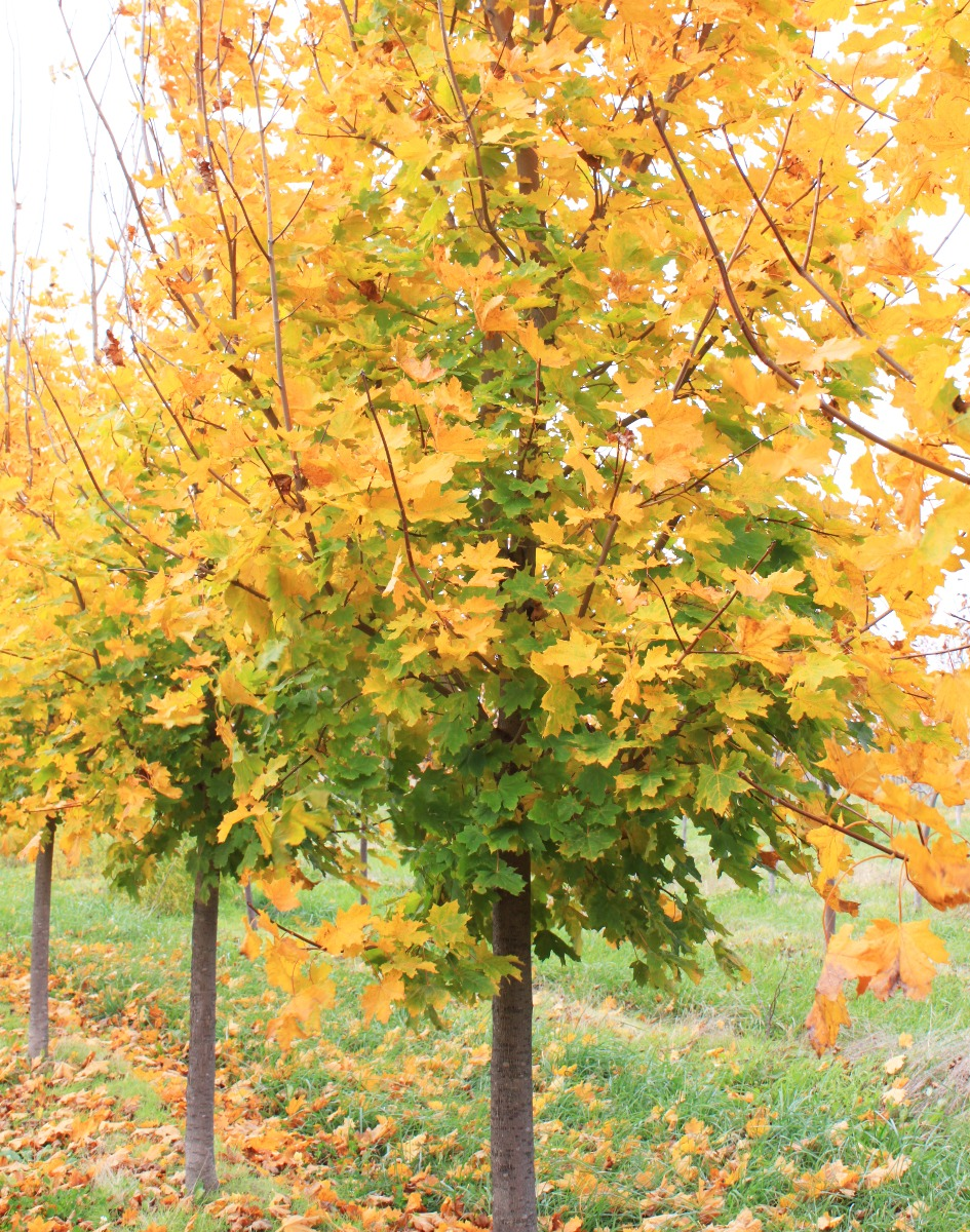 Emerald Lustre Norway Maple in Fall in the Nursery with Transitioning fall foliage