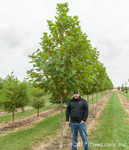 Exclamation London Planetree in Nursery with Person Standing