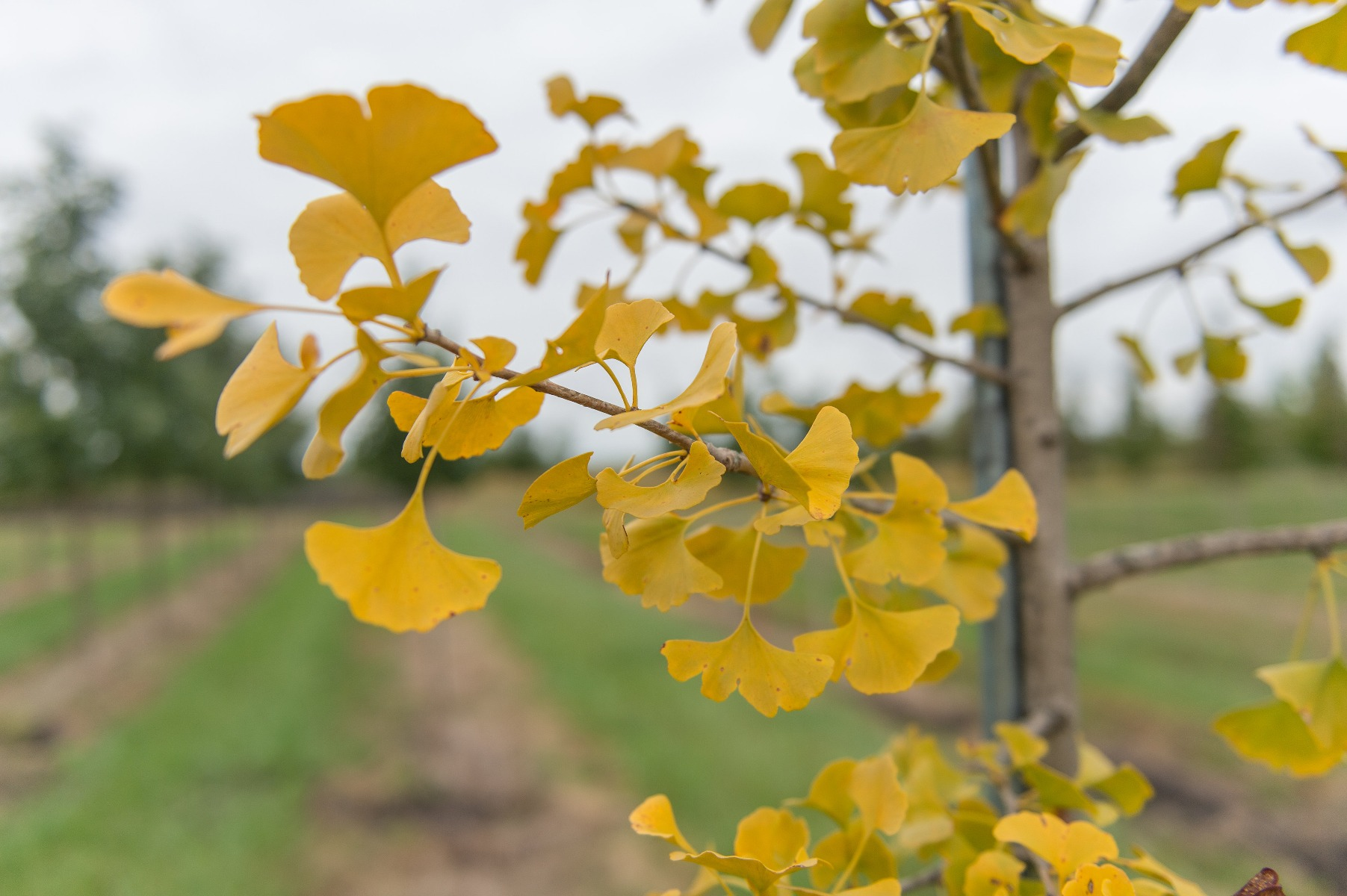 Windover Gold Ginkgo
