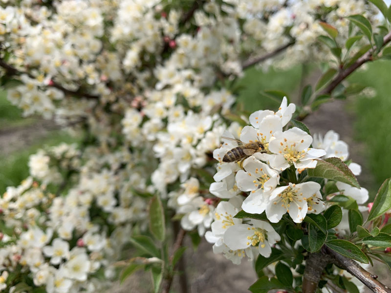 Sargent White Flowering Crabapple with Bumble Bee