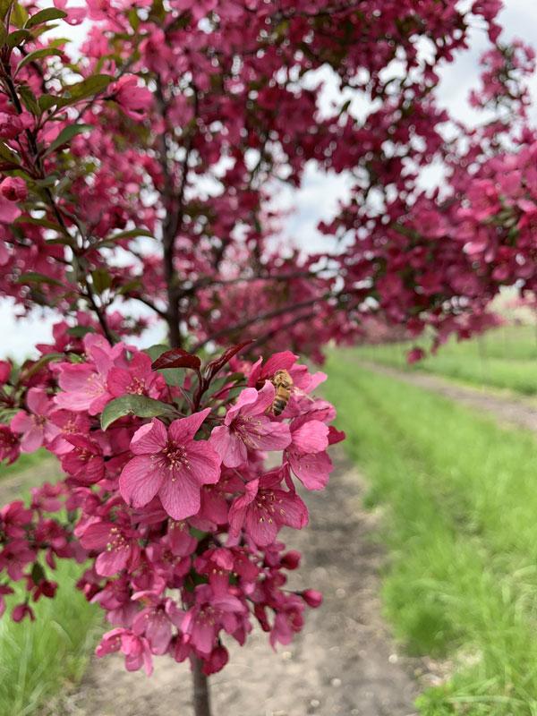 Pink Flowering Crabapple